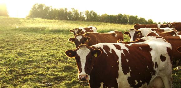 ЧП в Алтайском крае: сельхозпредприятие продавало коров, зараженных лейкозом